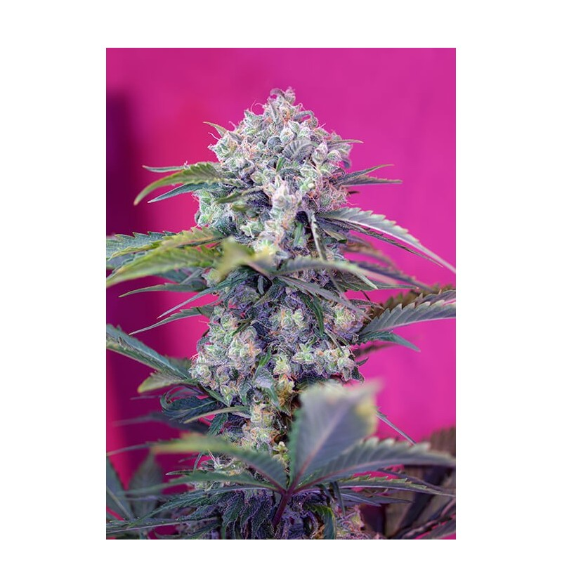 CREAM MANDARINE AUTO SWEET SEEDS 5UN