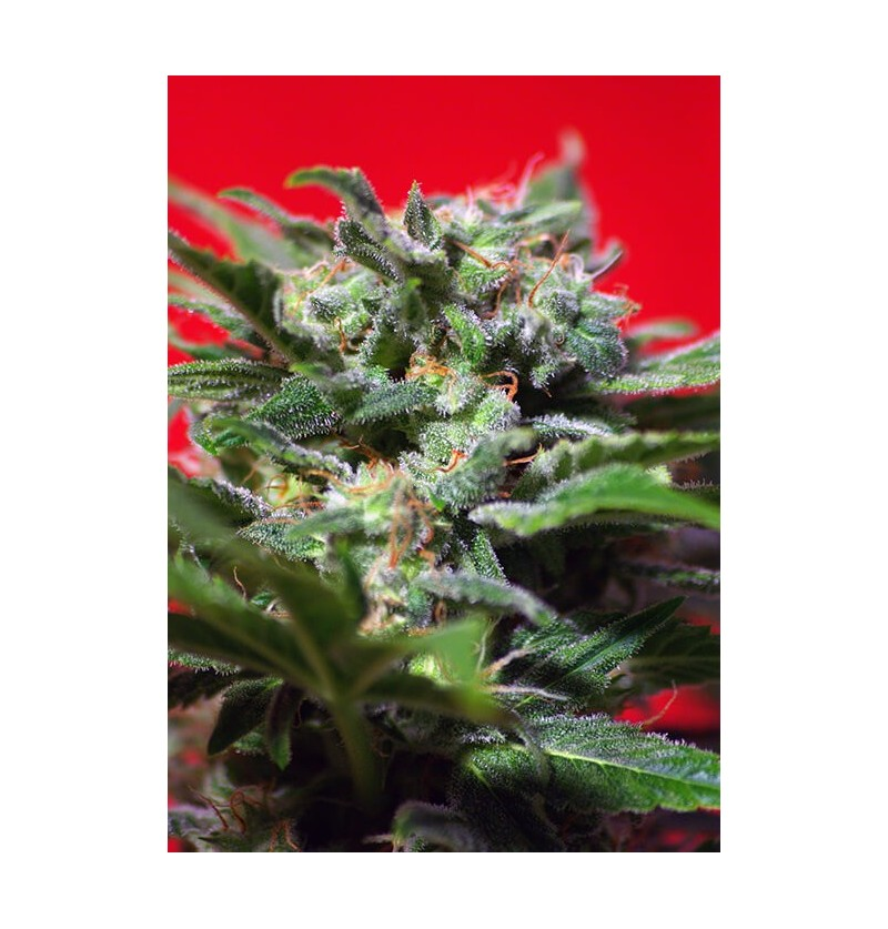 GANESH SPIRIT SWEET SEEDS 3UN