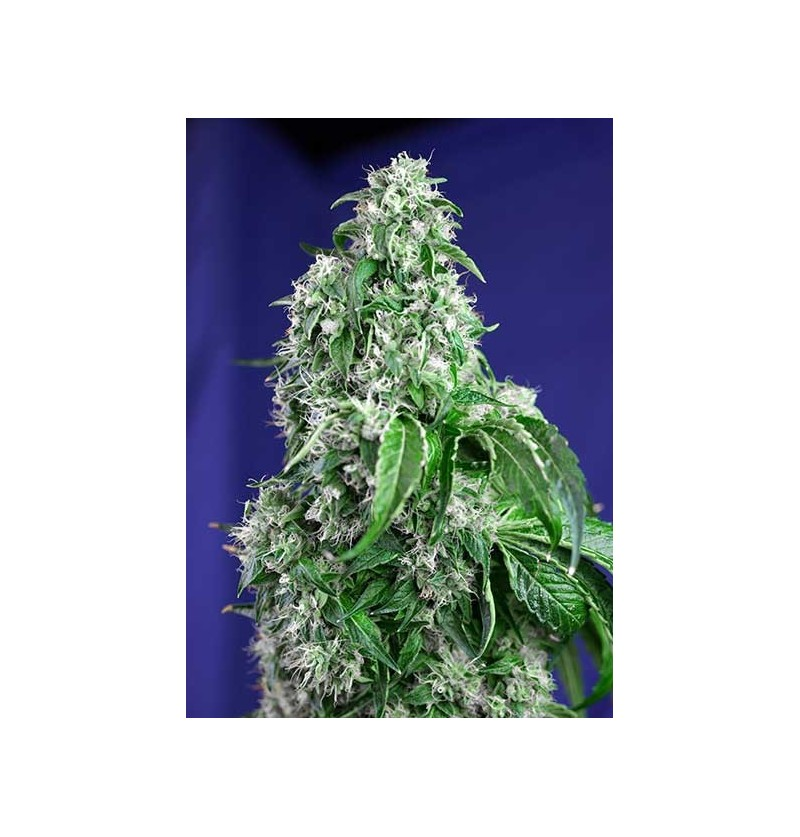 BIG DEVIL F1 FAST VERSION SWEET SEEDS 3UN