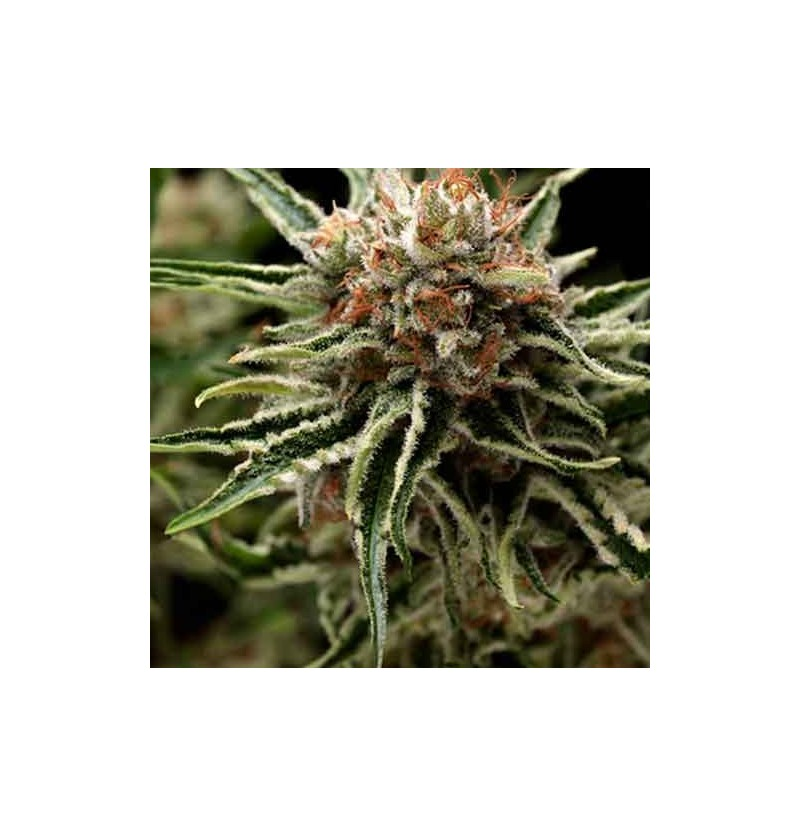 SEMI SHARK - Pyramid Seeds feminizada 5Un