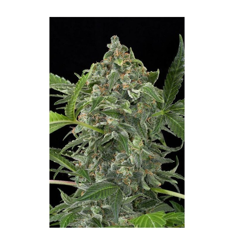 WHITE CHEESE AUTO DINAFEM 5UN
